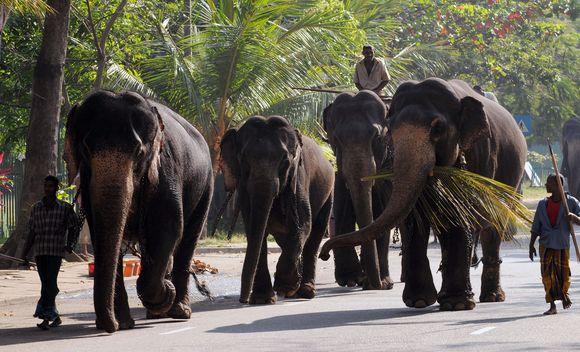Drambliai atvyksta į Šri Lanką.