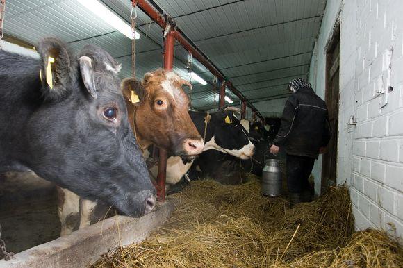 Karvės