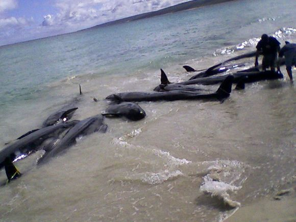 Australijos pakrantėje teko gelbėti įstrigusius delfinus.