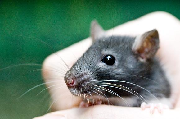 Žiurkės gali dirbti išminuotojomis.