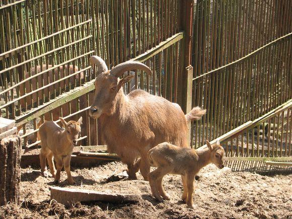 Karčiuotojo avino jaunikliai