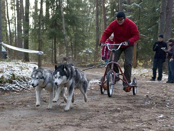 Pamenunės šile lenktyniaus šunų kinkiniai