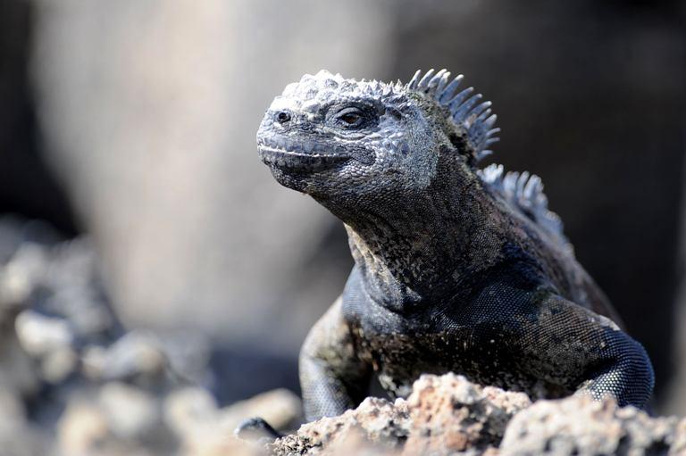 Jūrinė iguana.