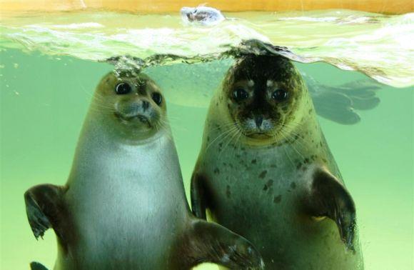Jūrų muziejaus ruoniai iškeliaus į Sibirą.