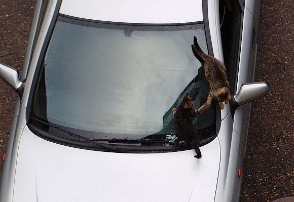 Katinai ant automobilio