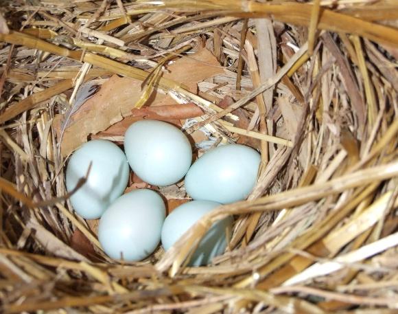 Varnėnų kiaušiniai žūkladėžėje