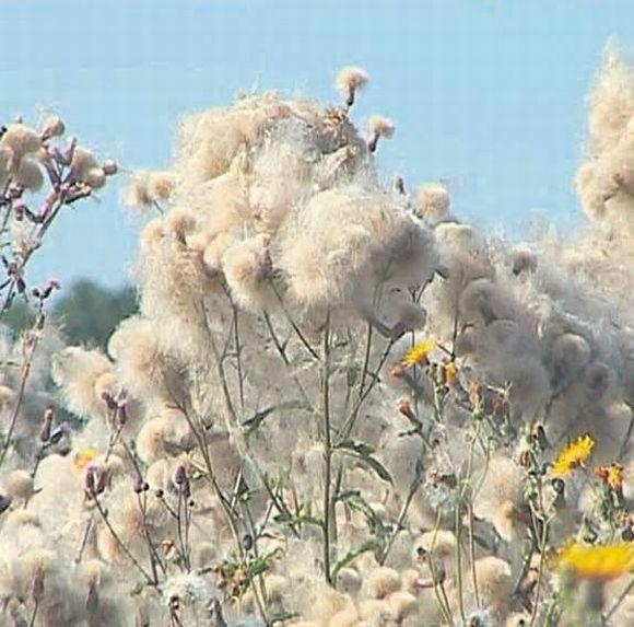 Žydinčių usnių sėklas vėjas išnešioja toli po aplinkinius laukus.