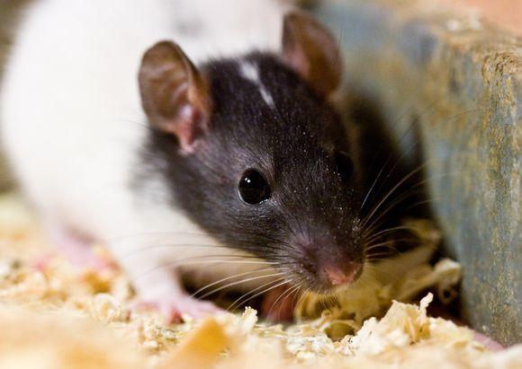 Tarp 1700 gyvūnų pareigūnai aptiko ir 300 pelių.