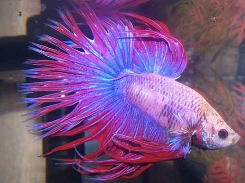 Žuvis - gaidukas