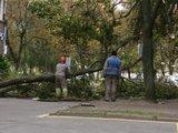 A.Kripaitės nuotr./Vėjas nukaužė medį.