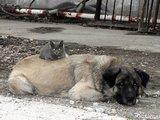 """""""Scanpix"""" nuotr./Turkų aviganis """"įsivaikino"""" ir užaugino motinos netekusį kačiuką."""