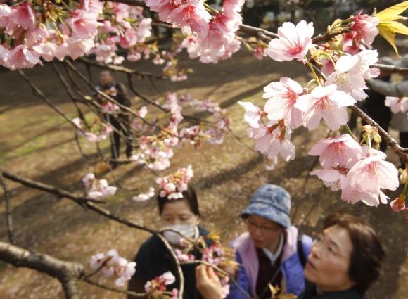 Japonija ruošiasi sakurų žydėjimui.