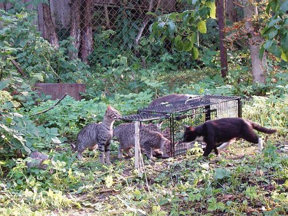 Benamės katės sugaunamos, sterilizuojamos ir paleidžiamos į laisvę.