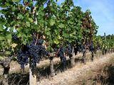 Vytauto Ulozo nuotr. /Iš jų bus spaudžiamas vynas.