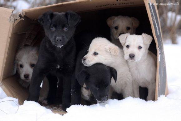 Dovanojami šuniukai