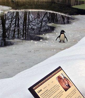 Pingviniukė nusprendė pasivaikščioti liūtų aptvare.
