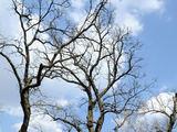 Alfredo Pliadžio nuotr./Stelmužės ąžuolas