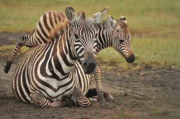 Zebriukas nenustygsta būdamas aalia mamos Nakuru nacionaliniame parke