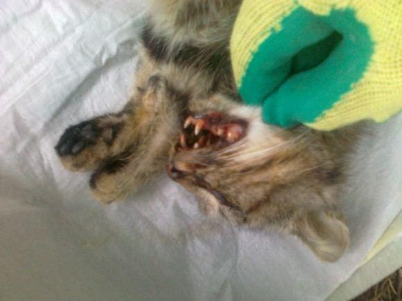 LGGD nuotr./Gyvūnų globėjų pastangos iagydyti katytę nuėjo perniek.
