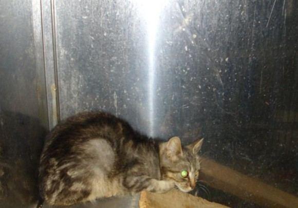 LGGD nuotr./Taip ta pati katė atrodė ia pradžių, ką tik patekusi į Grindos narvą.