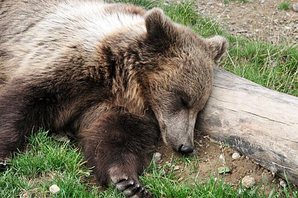 Miegantis lokiukas Berno meškų parke