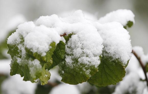 Žali medžių lapai padengti sniegu