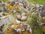 A.Tamulienės nuotr./Saloje peri daugybė paukačių