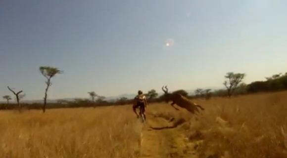Antilopė susidūrė su dviratininku
