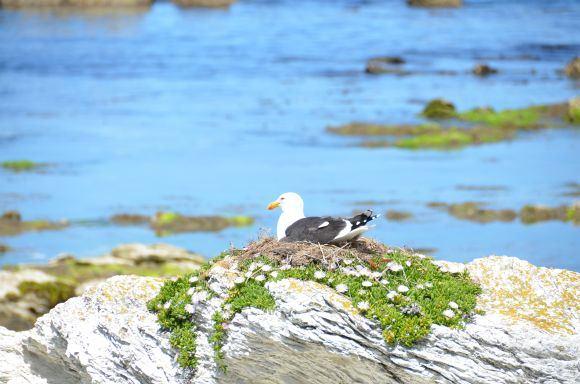 L.Dapkus/Perintis albatrosas