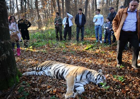 Tigrės nepavyko saugiai sugrąžinti į zoologijos sodą.