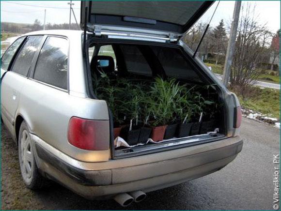 Kanapių sodinukai automobilyje