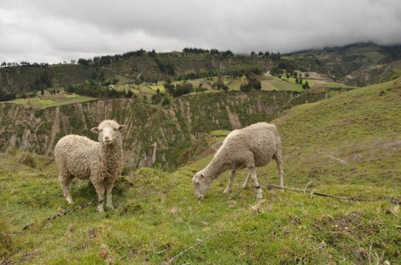 Greitgrisim.lt nuotr./Pakelyje sutiktos avys