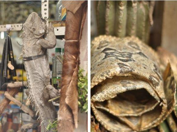 Greitgrisim.lt nuotr./Sudžiovinta įguana ir gyvatės oda (deainėje)