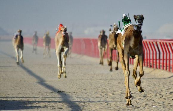 AFP/Scanpix nuotr./Kupranugarių lenktynės Kuveite