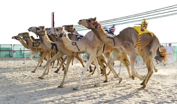 Kupranugarių lenktynės Kuveite