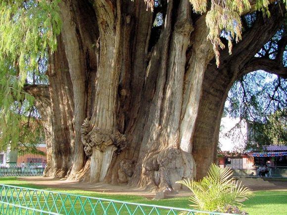 Didžiausias medis pasaulyje