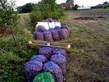 Ankstyvosios bulvės. A.Aleksėjūnienės nuotr.