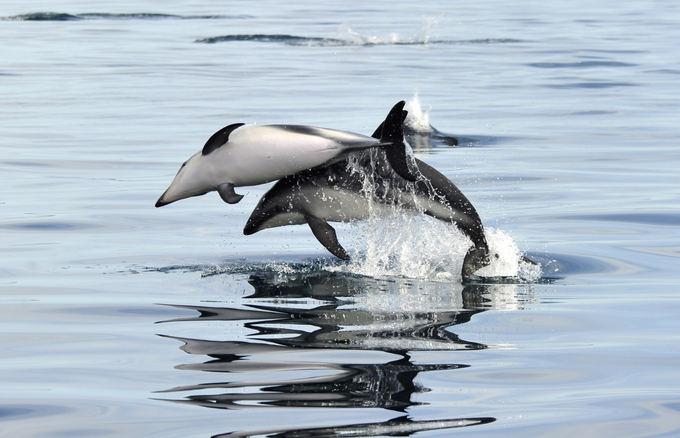 Reuters/Scanpix nuotr./Delfinai Atlanto vandenyne