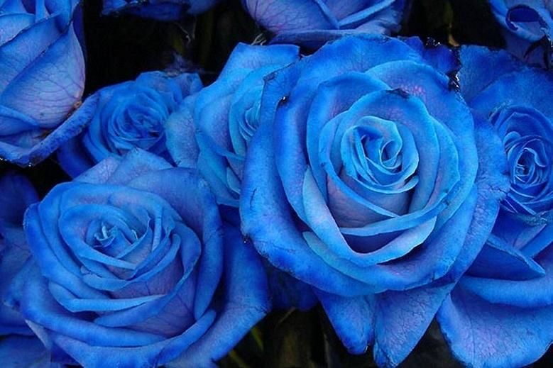 Japonijos mėlynosios rožės