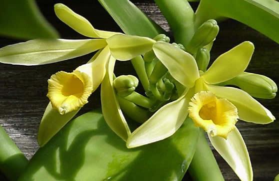 Ia aio orchidėjų aeimos augalo iagaunama vanilė.