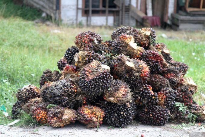 Evelinos ir Karolio nuotr./Netyčia mes buvome nuvežti į vieną milžiniaką palmių plantaciją. `tai palmių rieautai/vaisiai.