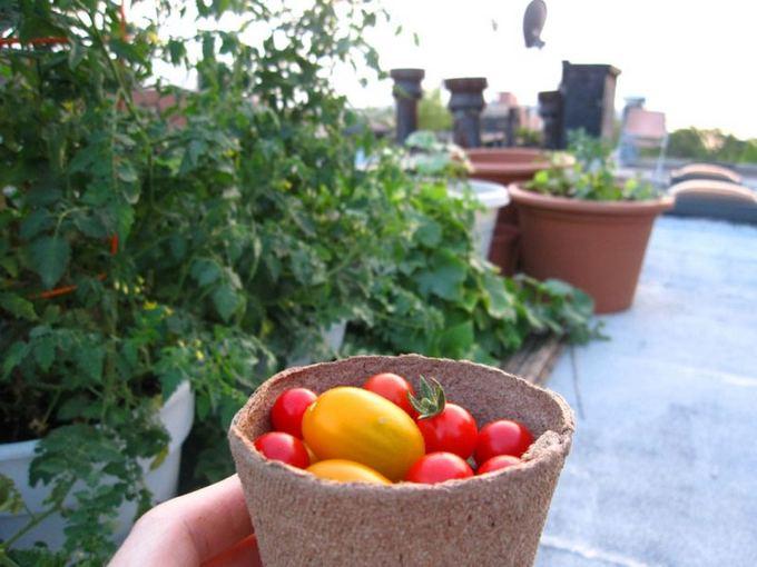 Ant stogo užaugintų pomidorų derlius.