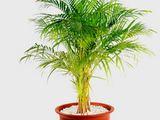 Fotolia nuotr./Finikinė palmė
