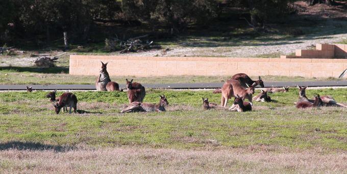 Karolio ir Evelinos nuotr./Ir atai pirmosios kengūros.