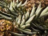 Shutterstock nuotr./Ananasai