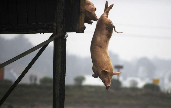 Reuters/Scanpix nuotr./Kinijos ūkininkas savo kiaules kasdien periverčia įaokti į tvenkinį.