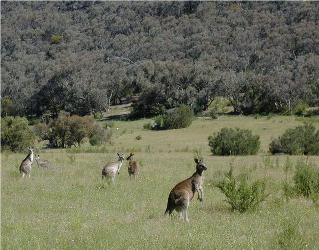 Wikimedia Commons nuotr./Pasaulio gyvūnai: aukatai aokinėjančios, vaikus sterblėje auginančios kengūros