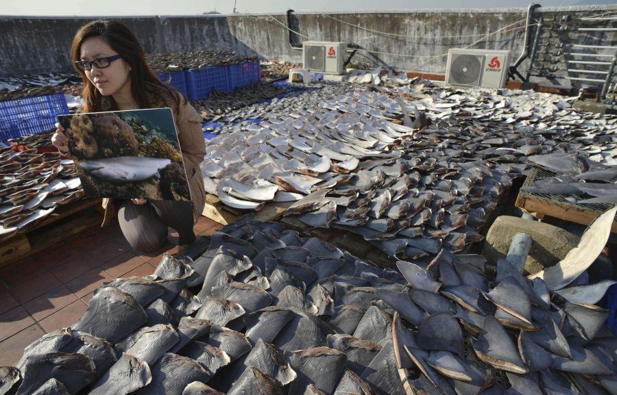 Ant stogo saulėje džiovinami ryklių pelekai ir pasipiktinusi gamtosaugos aktyvistė.