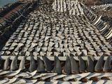 AFP/Scanpix nuotr./Ant stogo saulėje džiovinami ryklių pelekai.