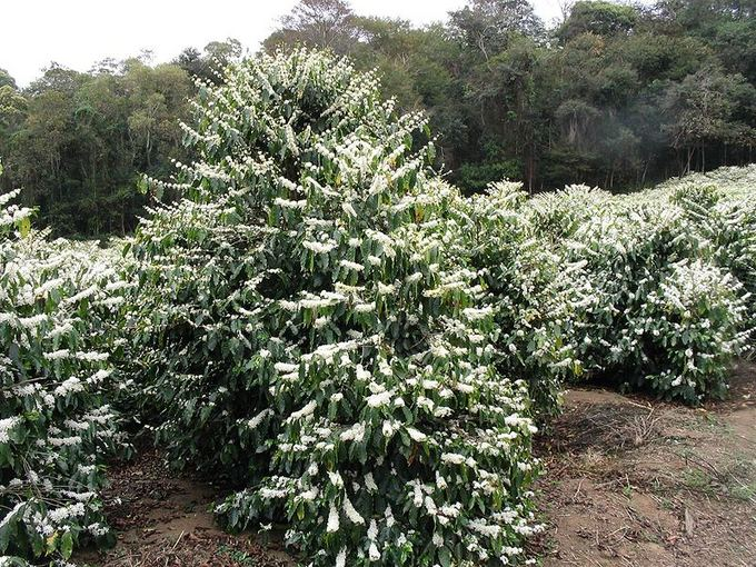 Wikimedia.org nuotr./10 didžiausių pasaulio aalių  kavos augintojų